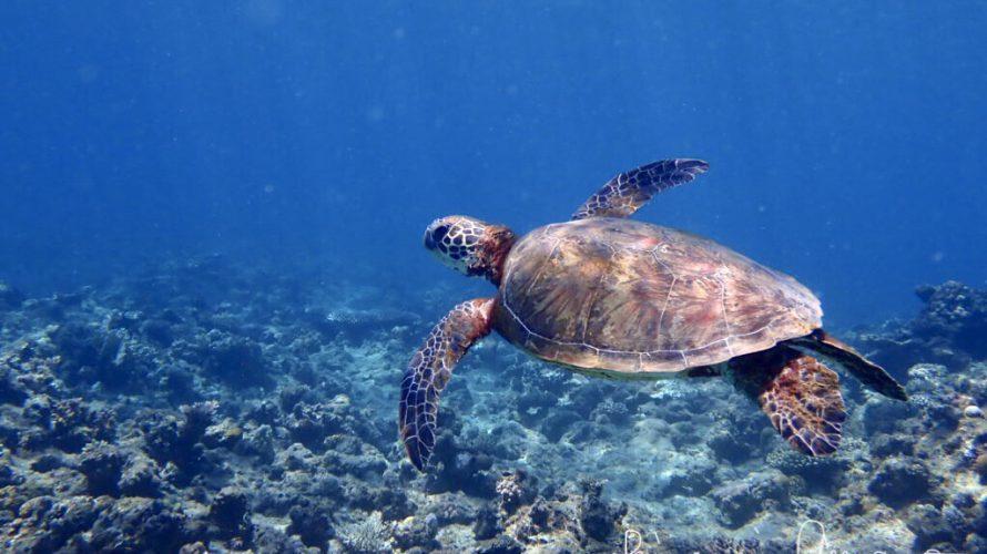 加計呂麻島シュノーケリング:ウミガメさんと出会うには強く願いすぎないこと