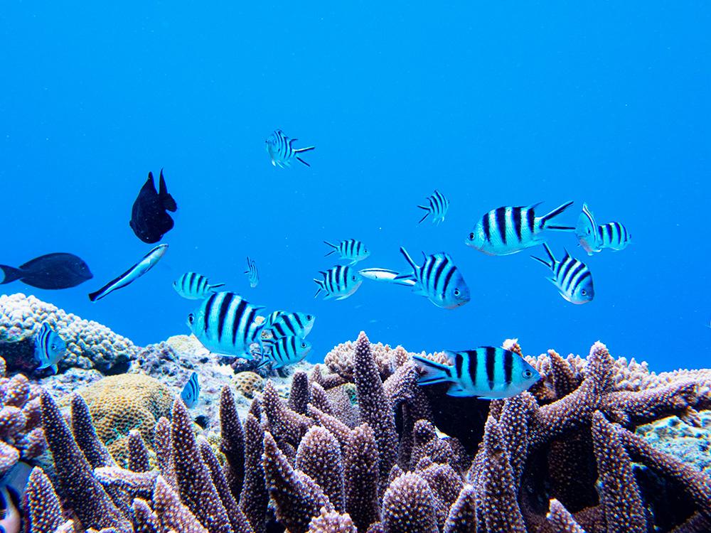 珊瑚礁のスズメダイたち